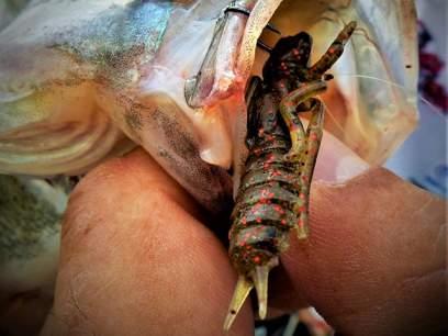 Crazy Fish Kasari 4cm 51 Squid Shrimp Floating