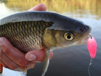 Lingurita oscilanta SV Fishing Individ 2.5cm 2g CH04